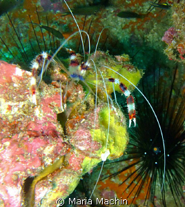 Banded Shrimp at Koh Bon Similans by Maria Machin