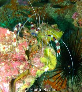 Banded Shrimp at Koh Bon Similans by Maria Machin