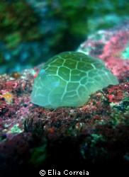 A very unusual sea slug! by Elia Correia