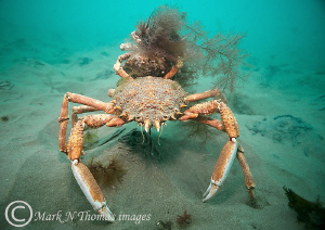 Spiny spider crabs - large male holding smaller female wi... by Mark Thomas