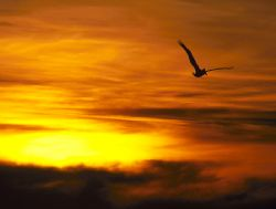 Brown Pelican off Malibu, CA (Nikon F4, 200-400 zoom, Sli... by Andrew Dawson