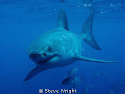 shot taken while diving with Rodney Fox shark expeditions... by Steve Wright