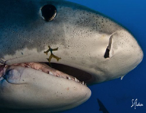 This image was taken during the last dive of the trip. Sa... by Steven Anderson