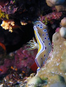 Rock climbing Nudibranch by Keith Savill