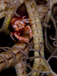 Shrimp in basket star by Reidar Opem