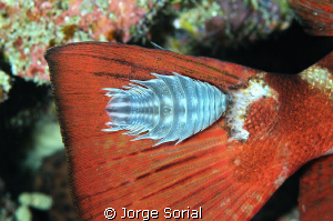 Isopod enjoying a free ride on a glasseye's tail (f18; 1/... by Jorge Sorial