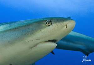 Reef Sharks are plentiful off the Bahamas and make it a s... by Steven Anderson