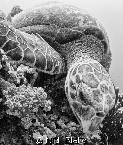 Turtle photographed at Jackson reef, Red Sea by Nick Blake