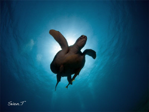 Green turtle by Sven Tramaux