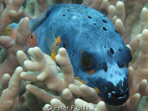 Dogface Pufferfish. Canon G 12 by Peter Foulds