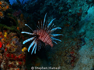 Lionfish by Stephen Hamedl
