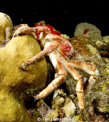 Night dive crab working it's way back to hiding. by Tim Dimacchia