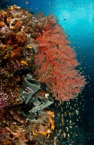 From a very healthy reef in Indonesia by Tony Cherbas