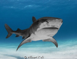 Tiger shark posing for UW photographer by Albert Kok