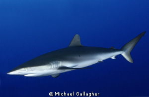 Silky shark in the blue, Sudan by Michael Gallagher