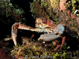 Crab sp. Under ledge in Roatan. by David Gilchrist