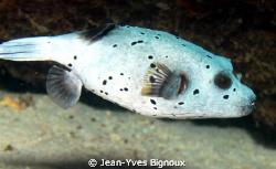 Balaclava Mauritius Puffer Fish 60mm macro 7D EOS Canon by Jean-Yves Bignoux