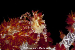 Candy crab on dendronephthya soft coral - Anilao, Philipp... by Francesco De Marchi