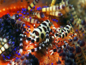 Coleman shrimp, Periclimenes colemani, Lembeh by Sven Tramaux