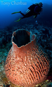 VERY Large Barrel Sponge. Nudi Rock, Raja Ampat by Tony Cherbas