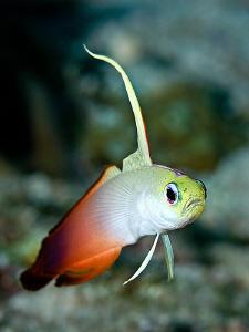 Fire Dartfish by Henry Jager
