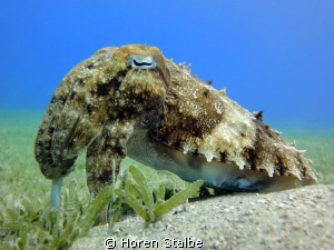 Cuttlefish was the perfect model, a quiet and calm!!! by Horen Stalbe
