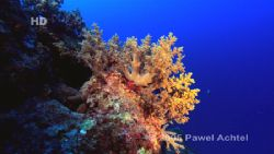 Soft Coral, Coral Sea, Australia. Taken with HDCAM high d... by Pawel Achtel