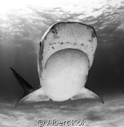 tiger shark in  B&W showing her Lorenzini pores by Albert Kok