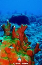 Fire coral! by Elia Correia