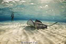 Diver meets  Stingray at Stingray City. by Albert Kok