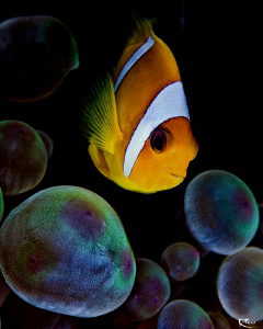 """""""I see you !"""" Clownfish in his spacy """"Pandora World"""" ;-) by Rico Besserdich"""