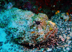 Watercolour Scorpionfish! by Elia Correia