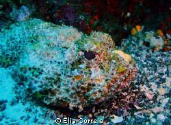 Watercolour Scorpionfish! by Elia Correia
