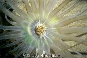 Looking down onto a sand anemone- a sunburst at night! by Lisa Hinderlider