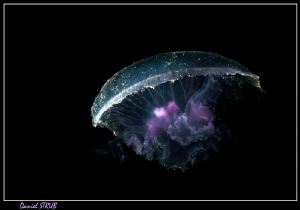 Jellyfish - on the first dive, the Marsa was filled with ... by Daniel Strub