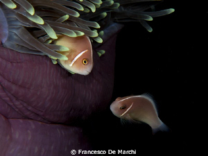 Purple home for two orange clown fishes