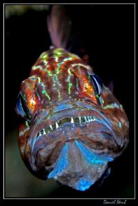 Cardinal fish hatching :-D by Daniel Strub