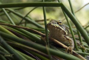 Frog.. by Sven Tramaux