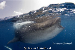 whale shark @ isla mujeres Mèxico by Javier Sandoval