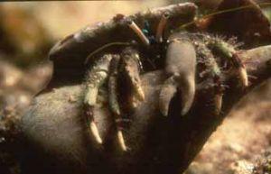 Hermit crab (night dive) Marsa Alam by Hossam M. Nasef