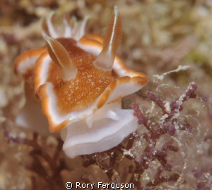 Red-margined Glossodoris by Rory Ferguson