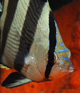 Banded Butterflyfish...Chaetodon Striatus.  Carl Linnaeus... by John Roach