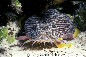 Splendid Toad fish-Cozumel by Lisa Hinderlider