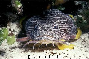 Splendid Toad fish-Cozumel by Lisa Hinderlider