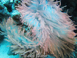 The most beautiful anemone that I have ever seen. It's al... by Gary Coulter