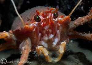 Squat lobster. Loch Hourn, Scotland. by Mark Thomas