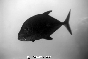 Here's a picture of an Ulua (Bluefin Trevally). I edited ... by Stuart Ganz