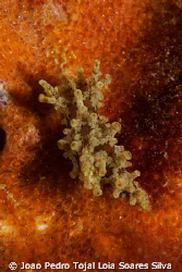 The elusive Aegires punctilucens, one of the nudibranch s... by Joao Pedro Tojal Loia Soares Silva