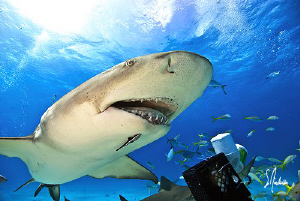 The Lemon Sharks always seem to have a good bit of charac... by Steven Anderson