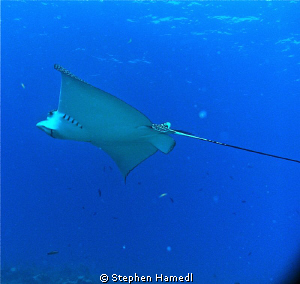 Eagle Ray by Stephen Hamedl